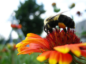 Tell Congress to Save America's Pollinators